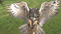 Eagle Owl at 1000 frames/secondEagle Owl at 1000 frames/second