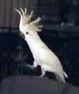Cockatoo Dancer
